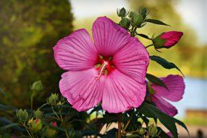 hibiscus snoeien