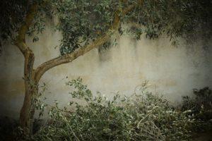 olijfboom snoeien