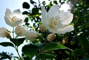 jasmijn snoeien