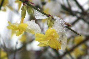 Winterjasmijn snoeien